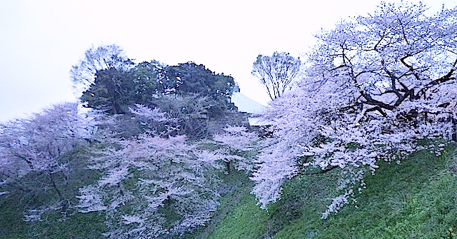 日本武道館の桜