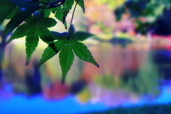 もみじの葉にピントを当てバックをぼかした写真