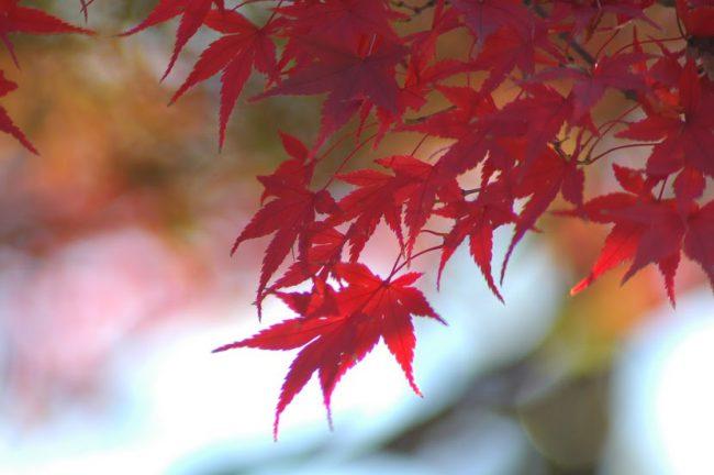紅葉したモミジを撮った写真