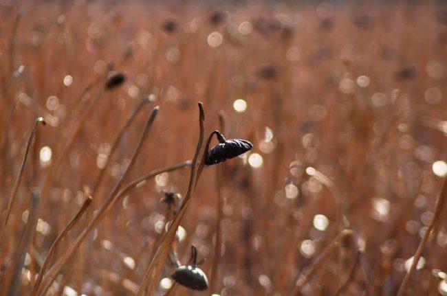 不忍池の枯れた蓮を撮った写真
