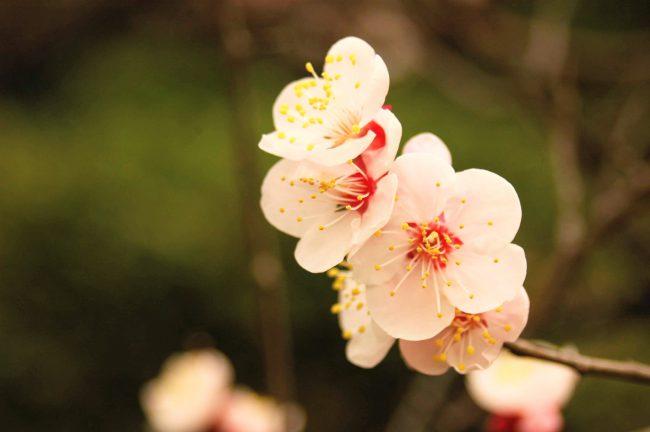 梅の花のアップの写真