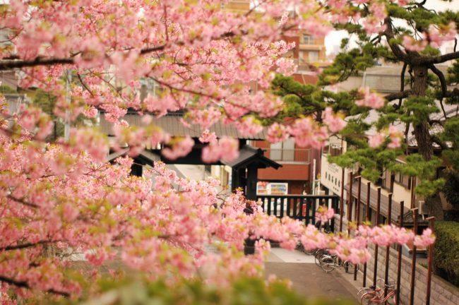 池上本門寺に咲く河津桜の花を境内に上る階段から撮った写真