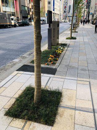 銀座通りの街路樹の植え替え終わりました。