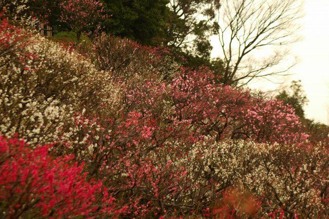 池上梅園の梅を広角で撮った写真