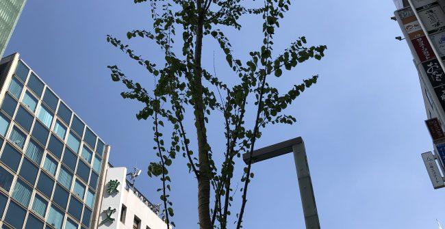 銀座通りの街路樹