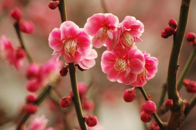 池上梅園に咲く座論梅
