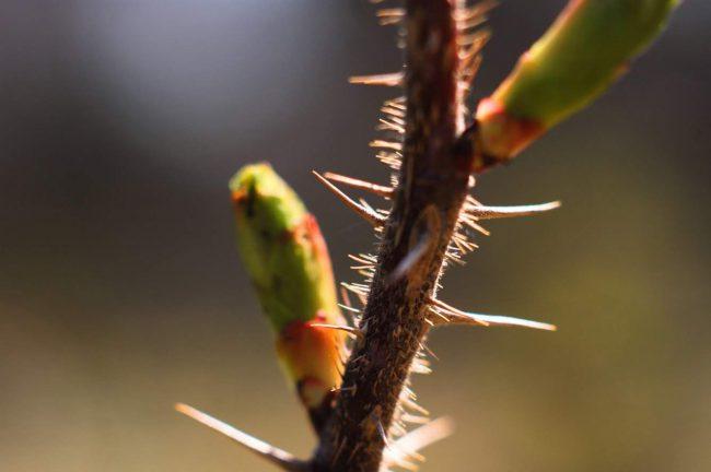 ハマナスの葉芽のアップの写真