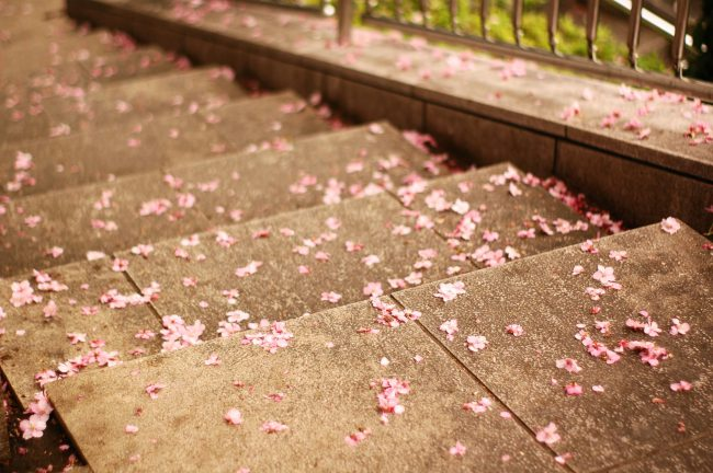 池上本門寺の河津桜が散った花びら