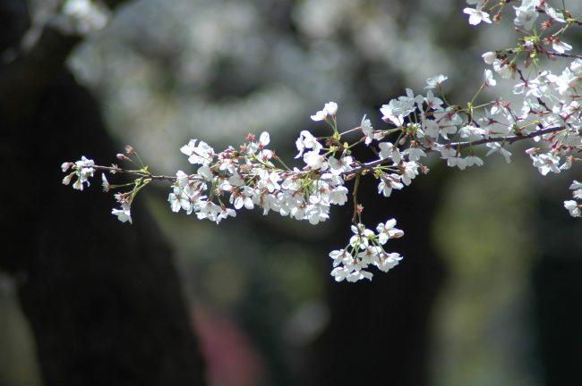 一本の桜の枝の写真