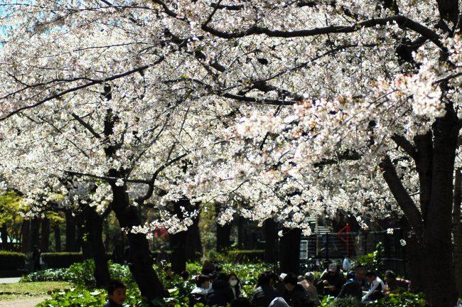 桜の木下で花見をしている写真