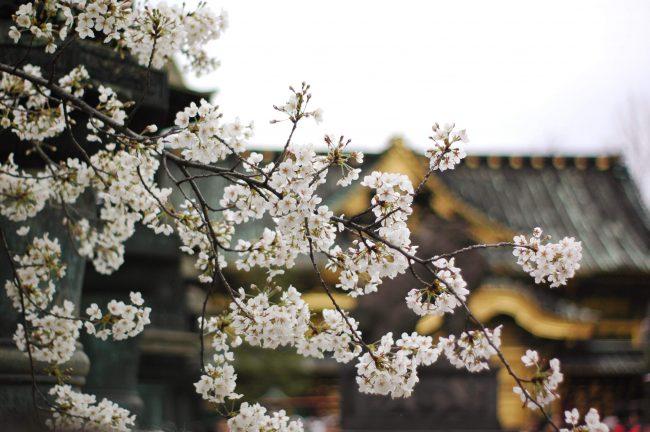 上野東照宮をバックにした桜の写真