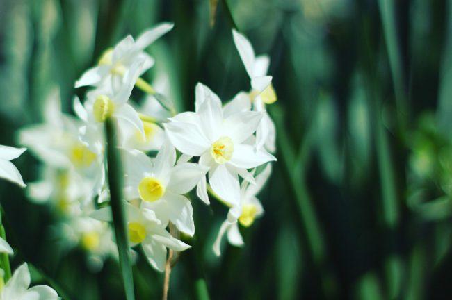 水仙の花の写真