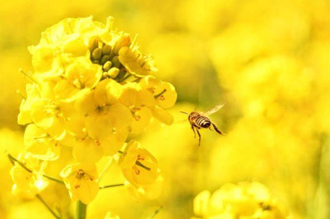菜の花にミツバチが留まろうとしている所の写真