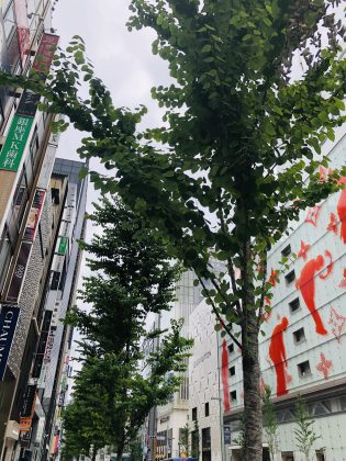 銀座中央通りの樹木が育っております。