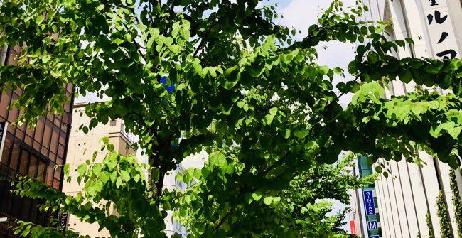街路樹が元気です。
