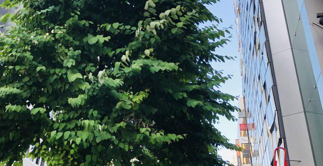 街路樹の成長。
